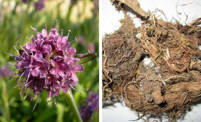 Spikenard flowers and root