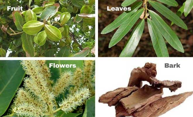 arjun tree fruit flower leaves and bark