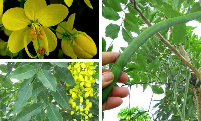 Amaltas flower fruit and leaves