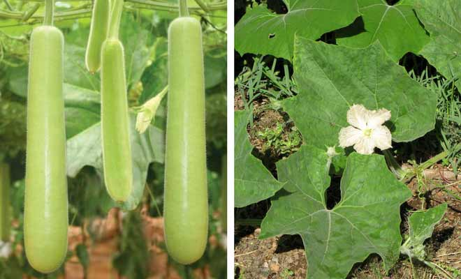 Bottle Gourd fruit, leaves and flower