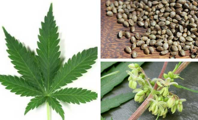 Cannabis leaves, seeds and flower