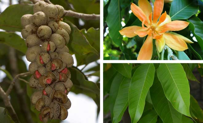 Golden Champa flower fruit and leaves