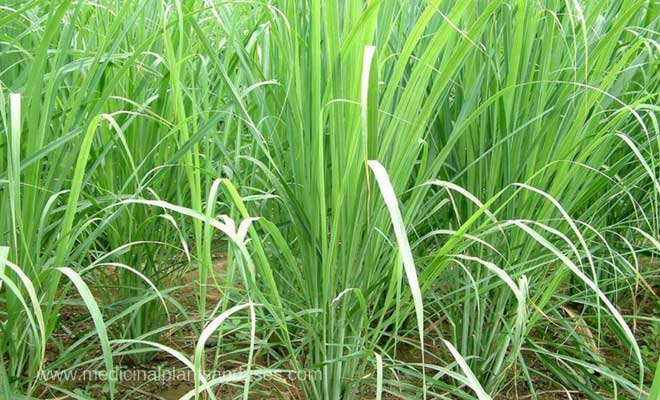 Lemongrass benefits, medicinal uses and side effects (Cymbopogon)