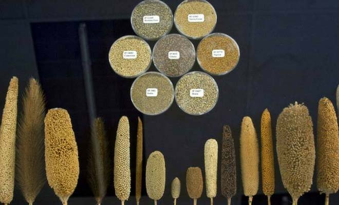 Millet grain health benefits, nutrition value and uses