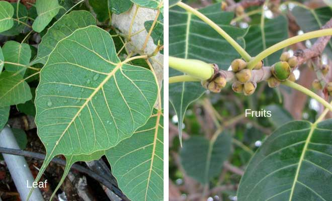Peepal leaves and fruit