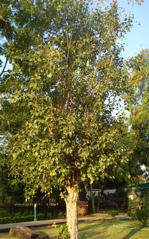 Peepal tree benefits and medicinal uses (Ficus religiosa)