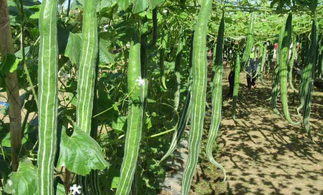 Snake gourd benefits, nutrition facts and side effects (chichinda)