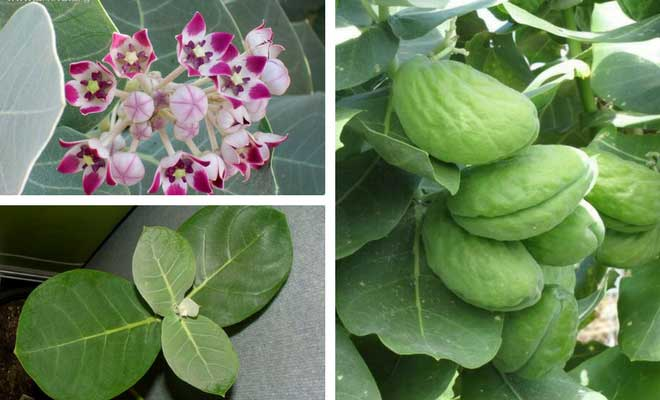 madar plant flowers fruit and leaves
