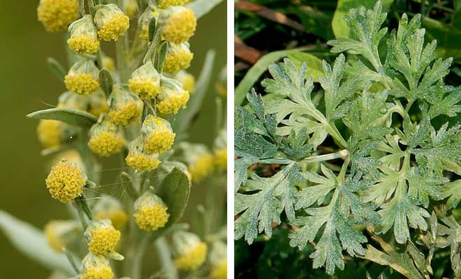 wormwood flowers and leaves