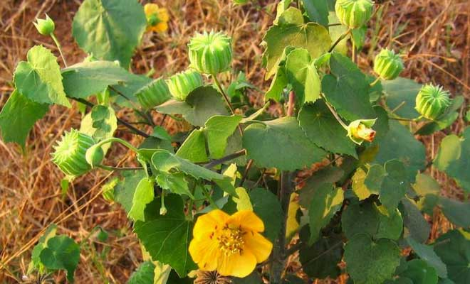 Abutilon Indicum (Indian mallow) health benefits and uses