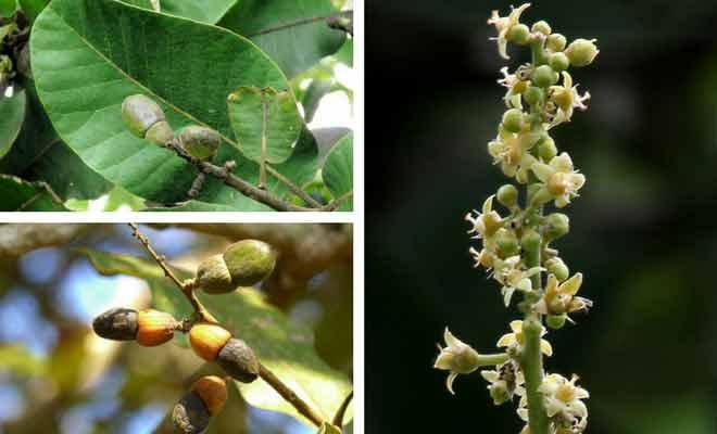 Bhallataka leaves, fruit and flowers