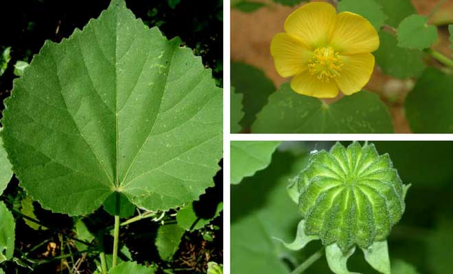 Indian mallow fruit flower and leaf