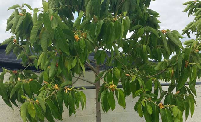 Michelia champaca health benefits, medicinal uses and images