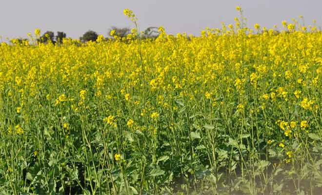 Mustard health benefits, medicinal uses and side effects