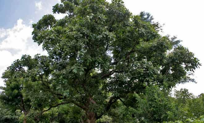 Semecarpus Anacardium (Bhallataka): Benefits, uses and side effects