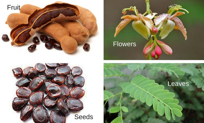 Tamarind fruit, seeds, leaves and flowers