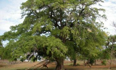 Tamarind tree health benefits, uses and side effects (Imli)