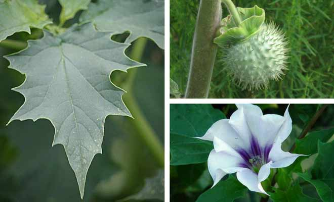 thorn apple leaf fruit and flower