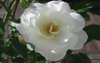 White rose flower image