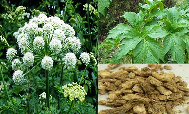 Angelica glauca flowers, root and leaves