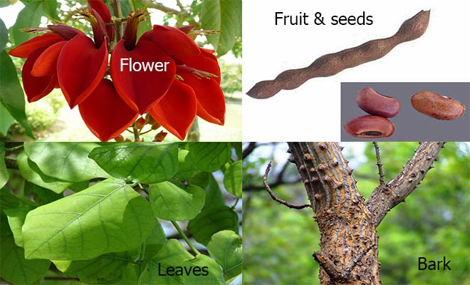 Indian Coral Tree flower, seeds, bark and leaves