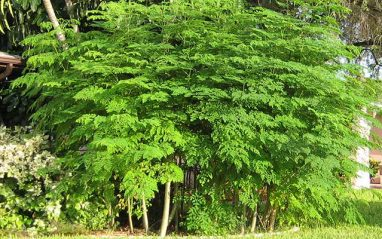 Moringa health benefits and side effects (drumstick)