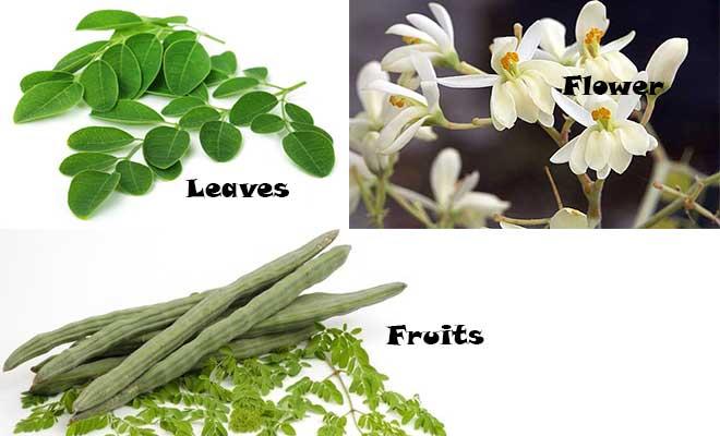 Moringa oleifera leaves, flower and fruits