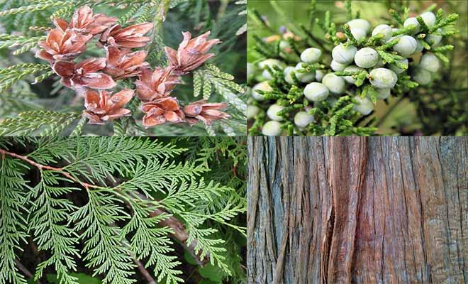 Thuja plicata leaves, flower, bark and fruits