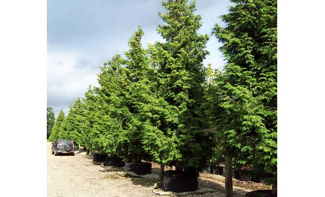 Western red cedar tree medicinal uses, side effects and photos