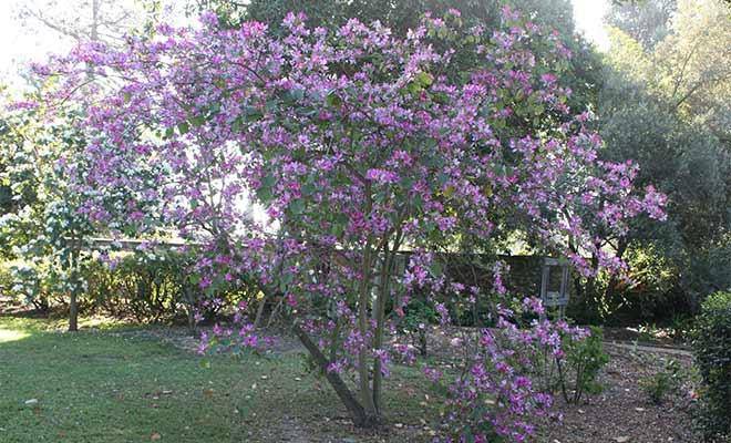 Bauhinia variegata medicinal uses, benefits and properties