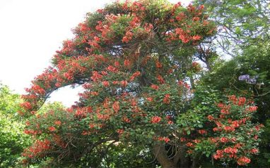 Erythrina indica medicinal uses, benefits and side effects