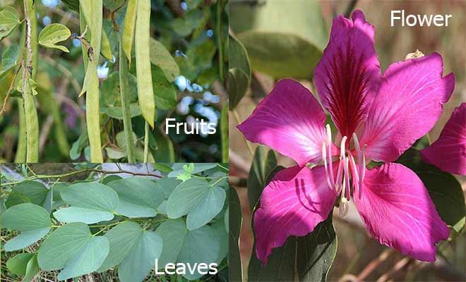 kachnar fruit, flower and leaves