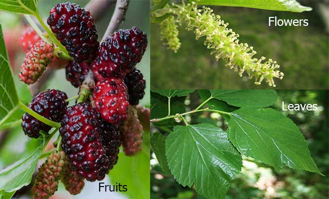 mulberry fruit, leaves and flower