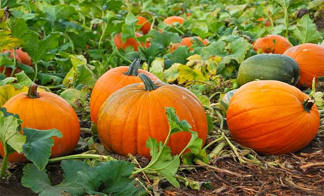 Top 5 pumpkin benefits and side effects for health