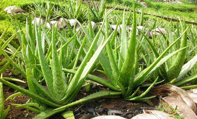 What is aloe vera and how it works for good health (Gwarpatha)