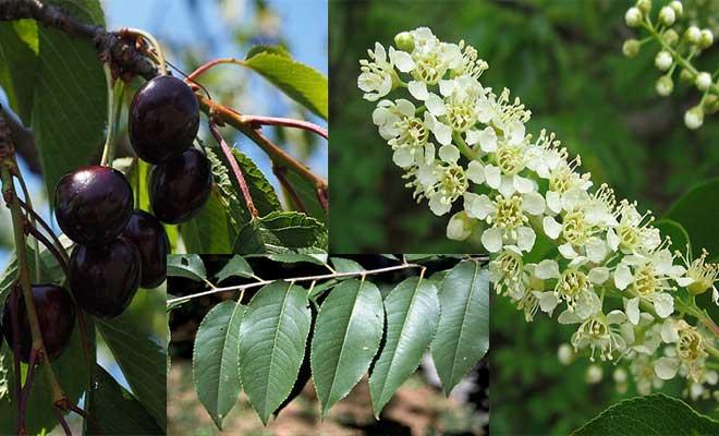 Black cherry fruit, flower and leaves