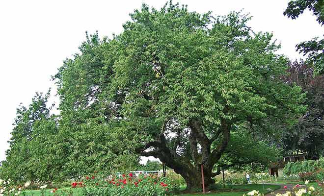 Black cherry health benefits, nutrition and side effects (Prunus serotina)