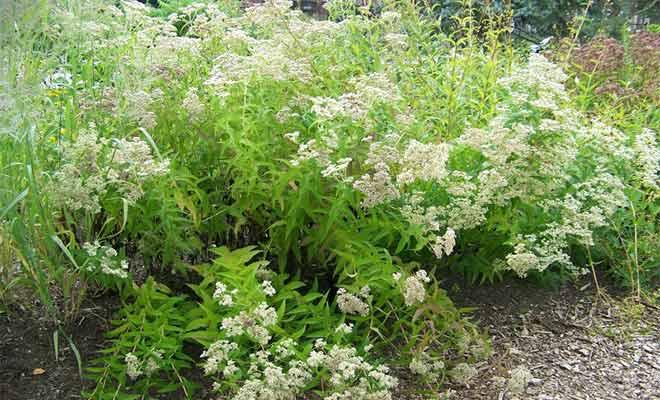 Eupatorium perfoliatum (Boneset) medicinal uses and side effects
