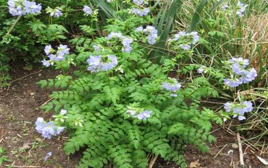 Jacob's ladder (Stairway to heaven) plant health benefits and uses