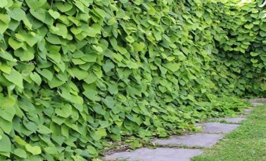 Aristolochia herb medicinal uses and health benefits