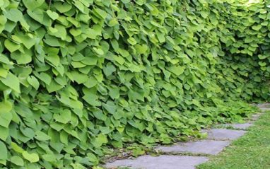Aristolochia herb medicinal uses and health benefits