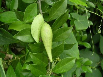 Gudmar plant