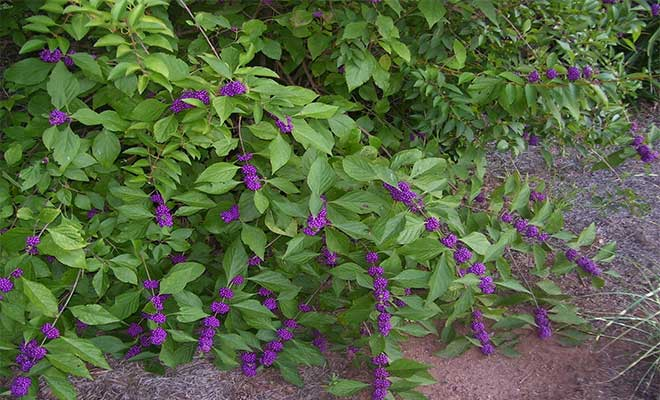 Priyangu (Callicarpa macrophylla) medicinal uses and benefits