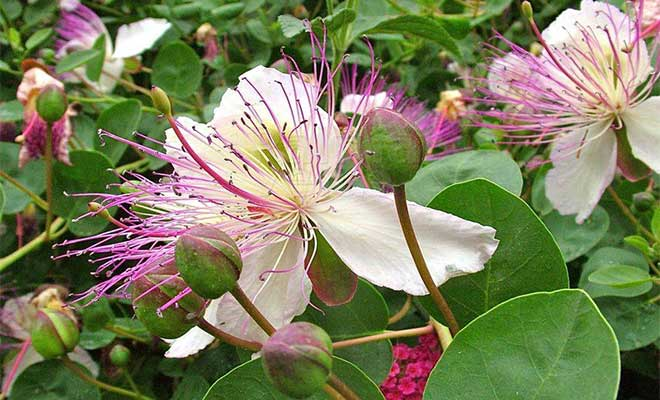 Caper plant benefits, medicinal uses and side effects