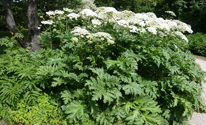 Heracleum persicum benefits and side effects