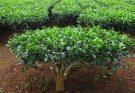 Camellia sinensis (Tea plant) benefits