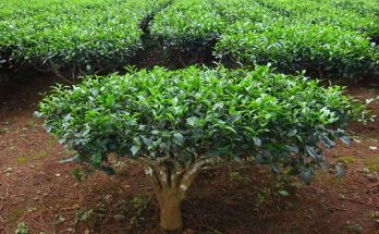 Camellia sinensis (Tea plant) benefits
