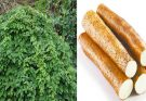 Chinese yam health benefits and side effects (wild yam)