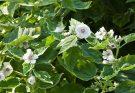 Marshmallow plant Medicinal uses