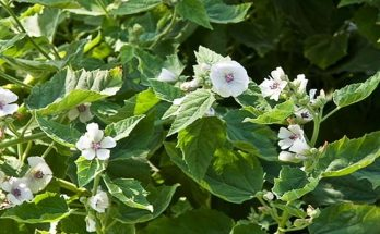 Marshmallow plant Medicinal uses